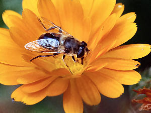 bijen-goudsbloem