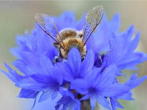 bijen-korenbloem