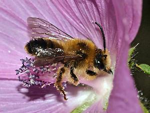 bijen-malva